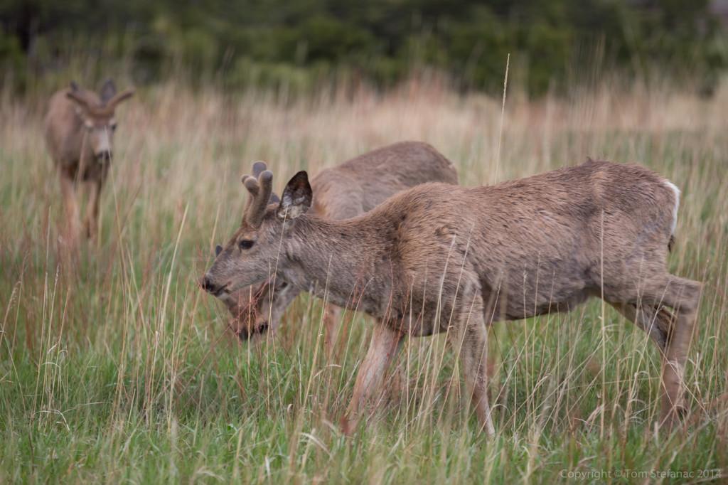Deer Grazing - Golden, CO