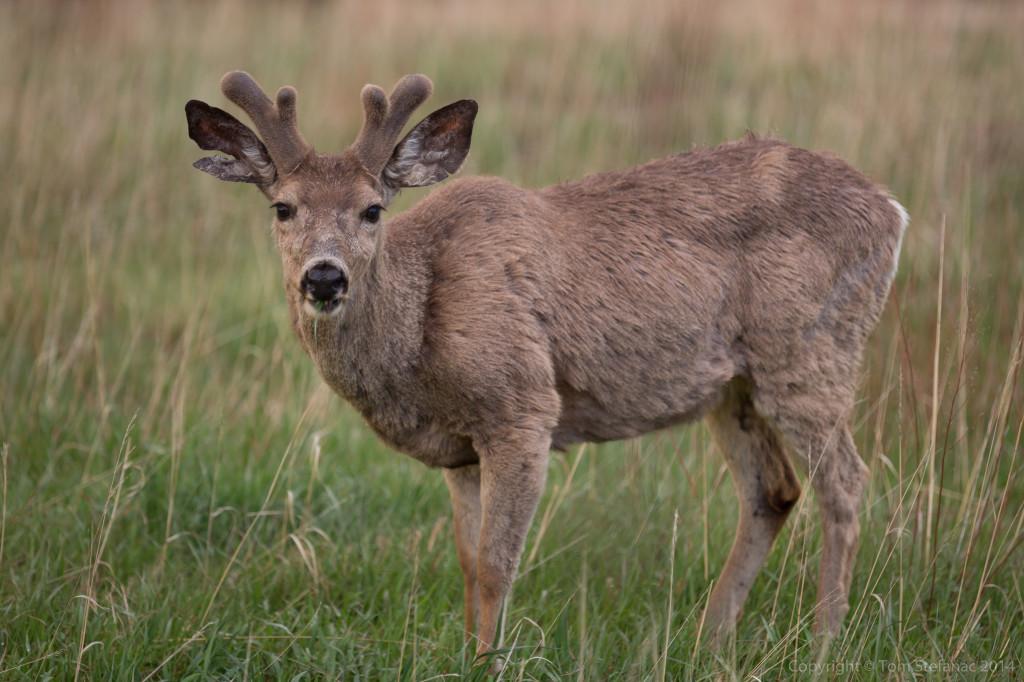 Deer Staring - Golden, CO